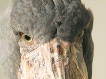 Detalle de la cara del pájaro de Shoebill Imágenes de archivo libres de regalías