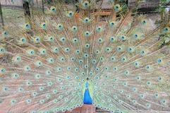 Detalle de la cola del pavo real Fotos de archivo