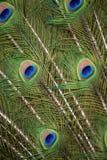 Detalle de la cola del pavo real Foto de archivo