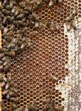 Detalle de la colmena - abejas, miel, células, cera Apicultura Imágenes de archivo libres de regalías