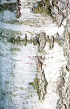Detalle de la corteza de árbol Foto de archivo libre de regalías