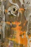 Detalle de la corteza de árbol de Cypress Foto de archivo