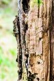 Detalle de la corteza del pino foto de archivo
