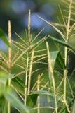 Detalle de la cosecha del maíz de julio Imágenes de archivo libres de regalías