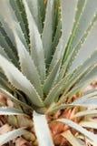Detalle de la cuchara del desierto Imagenes de archivo