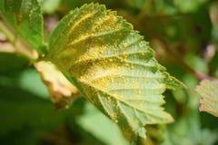 Detalle de la enfermedad vegetal, moho fotografía de archivo