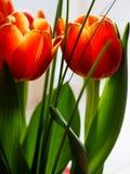 Detalle de la flor anaranjada del tulipán Foto de archivo