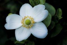 Detalle de la flor blanca Imagen de archivo