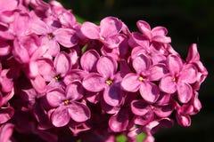 Detalle de la flor de la lila Fotografía de archivo