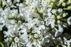 Detalle de la flor de la lila Imagen de archivo