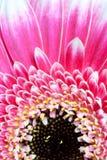 Detalle de la flor de la margarita Imagen de archivo