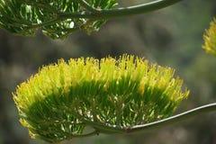 Detalle de la flor del agavo Imagenes de archivo