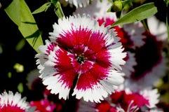 Detalle de la flor del clavel Imagen de archivo libre de regalías