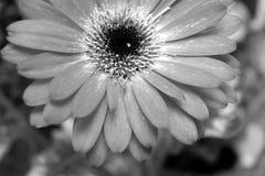 Detalle de la flor del Gerbera en blanco y negro Imagen de archivo