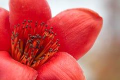 Detalle de la flor del kapoc Imagen de archivo libre de regalías