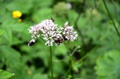 Detalle de la flor floreciente del prado con las abejas Imagen de archivo