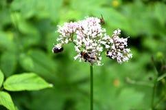 Detalle de la flor floreciente del prado con las pequeñas abejas Imagen de archivo libre de regalías
