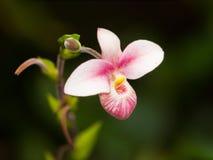 Detalle de la flor híbrida de los besseae del Paphiopedilum Fotos de archivo libres de regalías