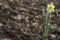 Detalle de la floración del narciso Imagenes de archivo