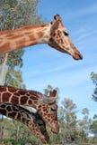 Detalle de la foto de la jirafa Foto de archivo libre de regalías