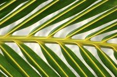 Detalle de la fronda de la palma Fotografía de archivo libre de regalías