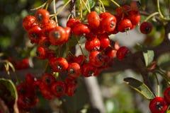 Detalle de la fruta del arbusto de la cadera de Rose Fotos de archivo libres de regalías