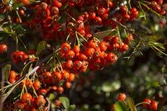 Detalle de la fruta del arbusto de la cadera de Rose Imágenes de archivo libres de regalías