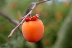 Detalle de la fruta del caqui en naranja viva Fotografía de archivo