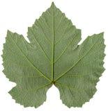 Detalle de la hoja de la uva Foto de archivo libre de regalías