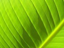 Detalle de la hoja del plátano con la vena angulosa Imagen de archivo