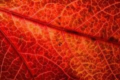 Detalle de la hoja roja del otoño Fotografía de archivo