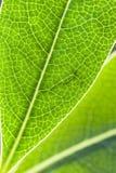 Detalle de la hoja verde en luz trasera Imagen de archivo libre de regalías