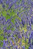Detalle de la lavanda de Provence Imagen de archivo