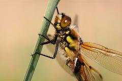 Detalle de la libélula Imagen de archivo libre de regalías