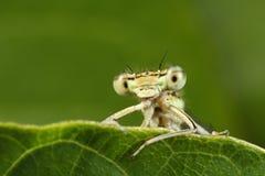 Detalle de la libélula amarilla Foto de archivo libre de regalías