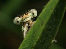 Detalle de la libélula amarilla Fotos de archivo