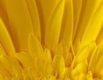Detalle de la macro del girasol Imágenes de archivo libres de regalías