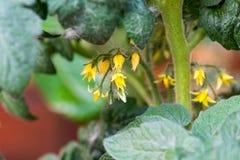 Detalle de la macro de la floración del tomate Flor amarillo de la planta creciente Verdura del jardín en primavera Imagenes de archivo