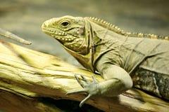 Detalle de la macro de la iguana imágenes de archivo libres de regalías