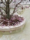 detalle de la magnolia japonesa en vcerdi de la plaza Fotos de archivo
