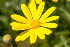 Detalle de la margarita amarilla con el polen 2 Fotografía de archivo libre de regalías