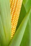 Detalle de la mazorca de maíz Fotografía de archivo
