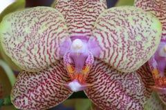 Detalle de la orquídea Fotografía de archivo libre de regalías