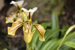 Detalle de la orquídea Fotos de archivo