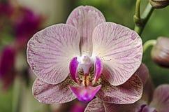 Detalle de la orquídea Foto de archivo
