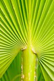 Detalle de la palma de ventilador Imagen de archivo