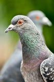 Detalle de la paloma salvaje (domestica de Columba Livia) Cabezas de dos palomas de la ciudad Fotos de archivo