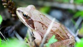 Detalle de la pequeña rana marrón que se sienta en hierba metrajes