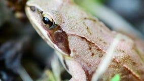 Detalle de la pequeña rana marrón que se sienta en hierba almacen de metraje de vídeo