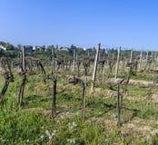Detalle de la planta de la uva en el viñedo en Grinzing, un pueblo del vino adentro Fotos de archivo